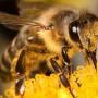 Mi marad a bevásárlókosárban, ha eltűnnek a méhek?